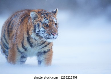 Close up Siberian tiger, Panthera tigris altaica, young male in snowy, freezing cold, walking directly at camera in deep snow. Tiger in natural taiga environment, winter. Big cat in winter forest.