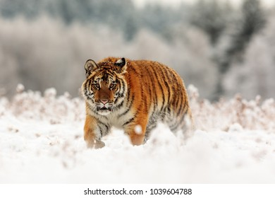 close up Siberian tiger in the snowy wildness