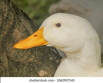 Close up side face a lovely cute white duck with nature background