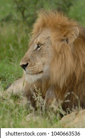 Close up side headshot of male lion lying in grass with large mane