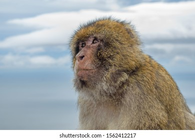 A close up Side Portrail of  a serious looking Gibraltar Barbary Ape