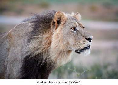 Close up side portrait of Panthera leo vernayi,  Kalahari lion, black mane lion in typical environment of Kalahari desert. Nosing lion focused on lioness.  Kgalagadi desert, Botswana