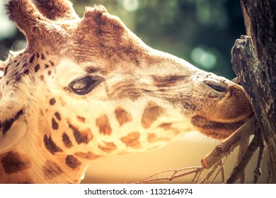 Close up side profile image of a Giraffe portrait head shot.