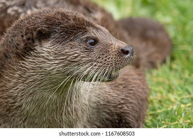 A close up side profile portrait of an otter. The animal is facing to the right. The portrait shows the head with detailed whiskers