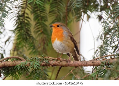Close up , side profile, of a Robin perched in a fir tree looking to the left.