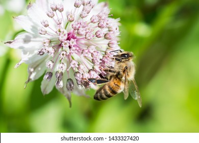Close up side view of honey bee on the side of astrantia flower with blurred background