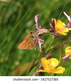 A close up side view of a Large Skipper Butterfly. Scientific name Ochlodes sylvanus. It is feeding from a ragged Robin flower in a meadow. But especially loves bramble flowers.