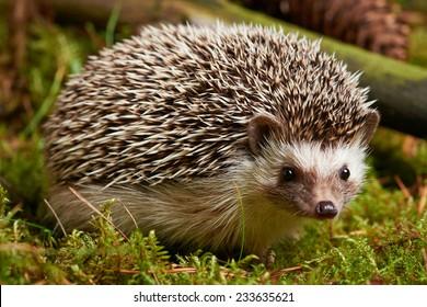 Close up Side View of Little Hedgehog Mammal Pet, on Grassy Landscape. Captured Outdoor.