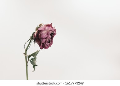Close up side view of a single dried and withered pink rose isolated on white background, with copy space. Concept of ageing, old, vulnerable, abandon, sad, depression, death, farewell and pain.