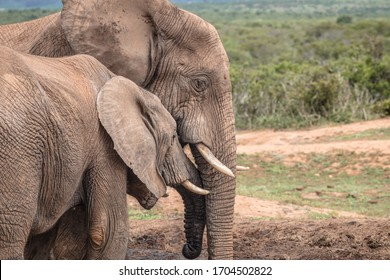 Close up side view of a young African Elephant interacting with an adult elephant at the Addo Elephant National Park in South Africa