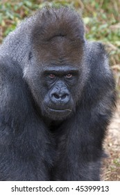 Close up of a Silver backed gorilla.