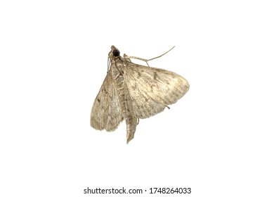 Close Up Of A Silver Brown Moth (Photographed In Northern Peru)