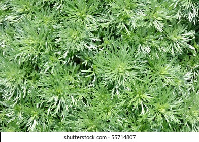 Close up of Silver Mound Artemisia for a Background