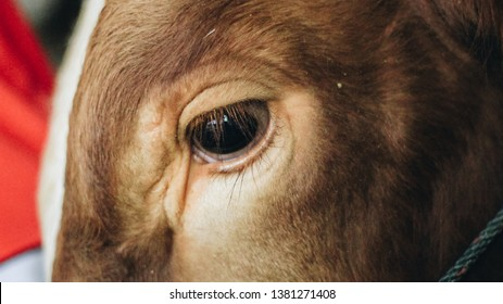 Close up of simmental cow (bos taurus) cattle snout in traditional farm, Boyolali, Indonesia. Only an eye and ear is seen in the frame.