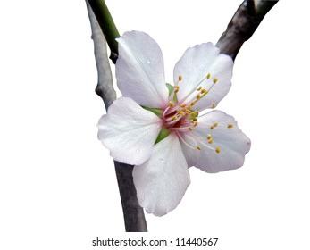 Close up of single almond flower isolated on white background