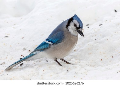 Close Up of a Single Blue Jay Feeding on Snowy Ground