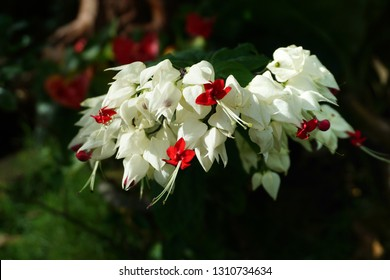 Clerodendrum Thomsoniae Images Stock Photos Vectors Shutterstock
