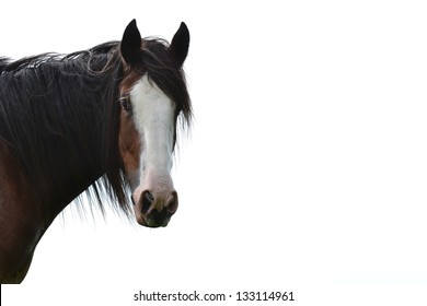 Close up of single Clydesdale horse looking into the eyes of the viewer set against a white background