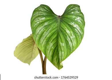 Close up of single leaf with silver pattern of rare tropical 'Philodendron Mamei' houseplant isolated on white background