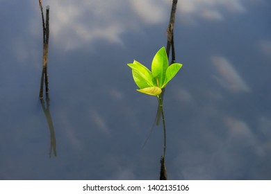 Close up of a single manually replanted  mangrove which is done in order to restore previously existing mangrove forests and thus protect environment.