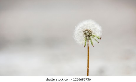 Close up of a single, perfect dandelion in full bloom against a bright and blurred background.