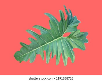 close up single philodendron xanadu leaf isolated on red background, hybrid tropical plants (lacy tree philodendron) with large dark green leaves and jagged edge for ornamental garden or home decor