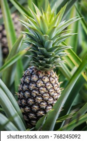 Close up of a single pineapple nestling amongst its leaves  as it ripens in a field in Asia.