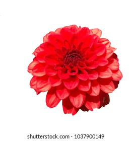 Close up of a single red Dahlia flower isolated on a white background