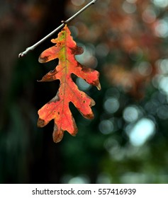 Close up of a single red pin oak (Quercus palustris) hanging from a twig, with shallow depth of field.