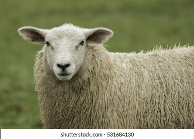 A close up of a single solitary sheep staring forward