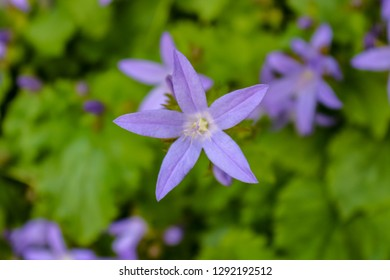 Close up of a single star-shaped bellflower (Campanula poscharsk