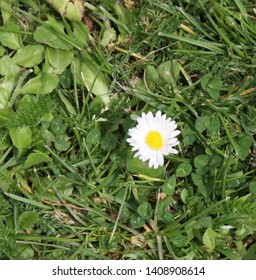 Close up of a singular daisy in Guernsey, Channel Islands
