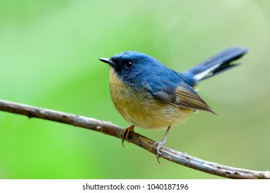 Close up of  Slaty-blue flycatcher (Ficedula tricolor) beautiful  blue bird perching on torn vine showing its side feathers profile with wagging tail