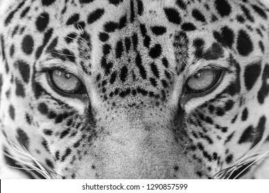close up of a sleeping jaguar