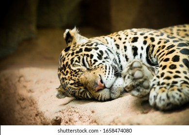 Close up of a sleeping jaguar