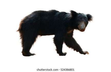 Close up sloth bear, Melursus ursinus, isolated on white background, Wilpattu national park, Sri Lanka. Wild animal.