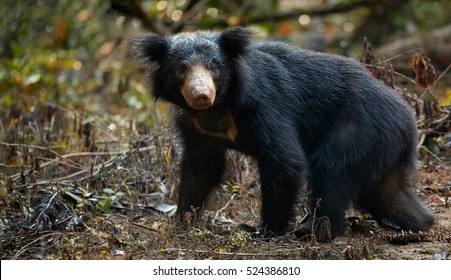 Close up sloth bear, Melursus ursinus, in the forest of Wilpattu national park, Sri Lanka. Sri lankan sloth bear staring directly at camera, wildlife photo.