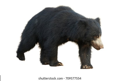 Close up sloth bear, Melursus ursinus, isolated on white background, Ranthambore national park, India. Wild animal.