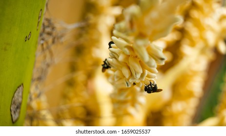 Close up of small bees pollinating the tiny flowers on a coconut palm tree on a bright summer day in Brazil.