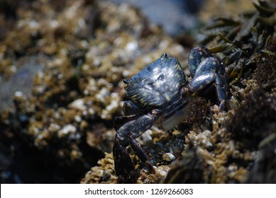 Close up of a small black crab on a rock (tidepool area) along the Pacific Ocean coast (Oregon Coast / California Coast area). Backside of the crab with legs and eyes displayed. Brookings, Oregon area
