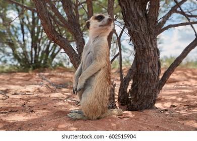Close up small carnivoran, Meerkat, Suricata suricatta closely watching surroundings. Ground level,  ultrawide image. Wildlife photo of  suricate on red sand of Kalahari desert, Botswana.