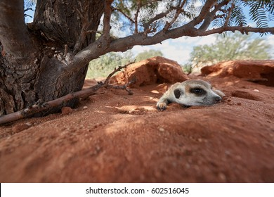 Close up small carnivoran, Meerkat, Suricata suricatta resting near to its burrow. Ground level,  ultrawide image. Wildlife photo of  suricate on red sand of Kalahari desert, Botswana.