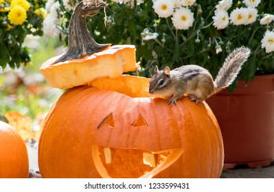 a close up of a small chipmunk on the edge of a orange pumpkin