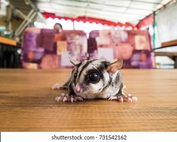 Close up of small and cute Sugar Glider walk around.