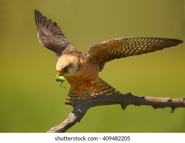 Close up  small falcon, Red-footed Falcon, Falco vespertinus, female with outstretched wings and grasshopper prey in its beak on branch in warm light isolated on green background. Hungary.