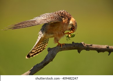 Close up small falcon, Red-footed Falcon, Falco vespertinus, feeding on big green grasshopper in claws, perched on branch in the nice evening light against abstract green background. Europe, Hungary.