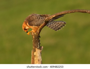 Close up small falcon, Red-footed Falcon, Falco vespertinus, female feeding on big green grasshopper in claws, perched on branch in the nice evening light against abstract green background. Hungary.