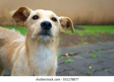 Close up of small golden dog looking at the camera in a garden with paving and grass