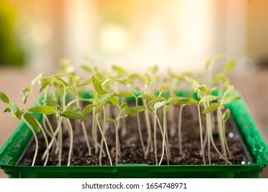 Close up of small green seedling growing in cultivation tray. Selective focus, shallow depth of field