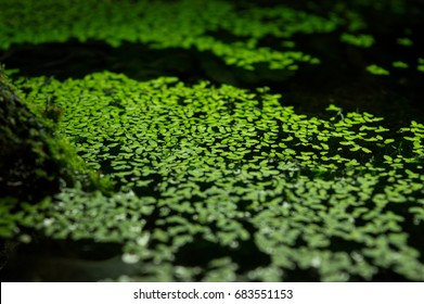 Close up of small leaves of Lemna minor on water surface in aquarium, beautiful aquatic freshwater plant also known as duckweed and used as animal fodder and bioremediator